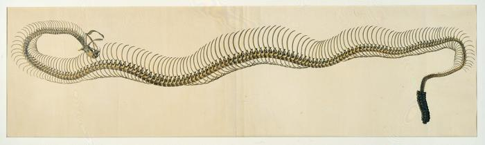 Rattlesnake Skeleton, attributed to Benjamin Henry Latrobe, n.d. (American Philo